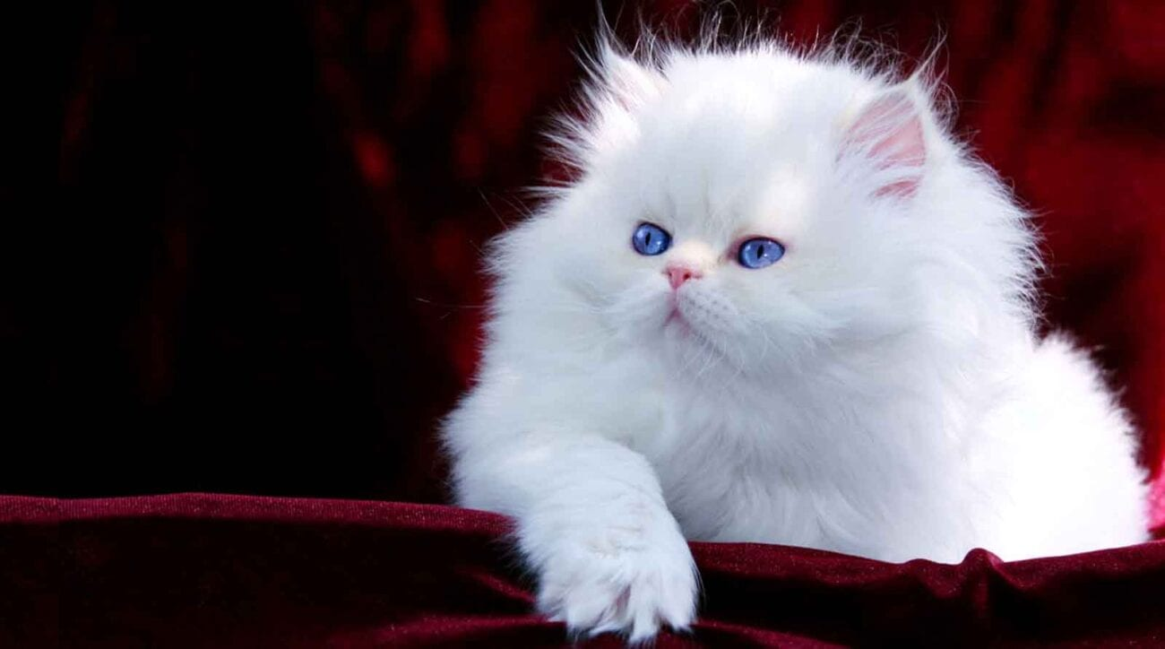 Persian kittens are adorable, like all kittens inherently are, but Persian kittens have the edge, with smooshed faces and fluffy fur, they're the best.