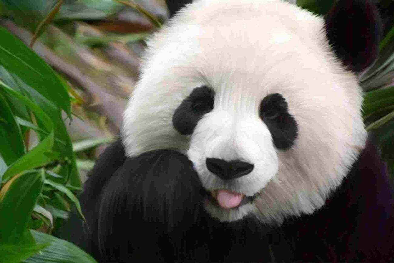 If you need that pick-me-up because the world has got you down, then look no further! Here are some extra cute videos all about pandas.