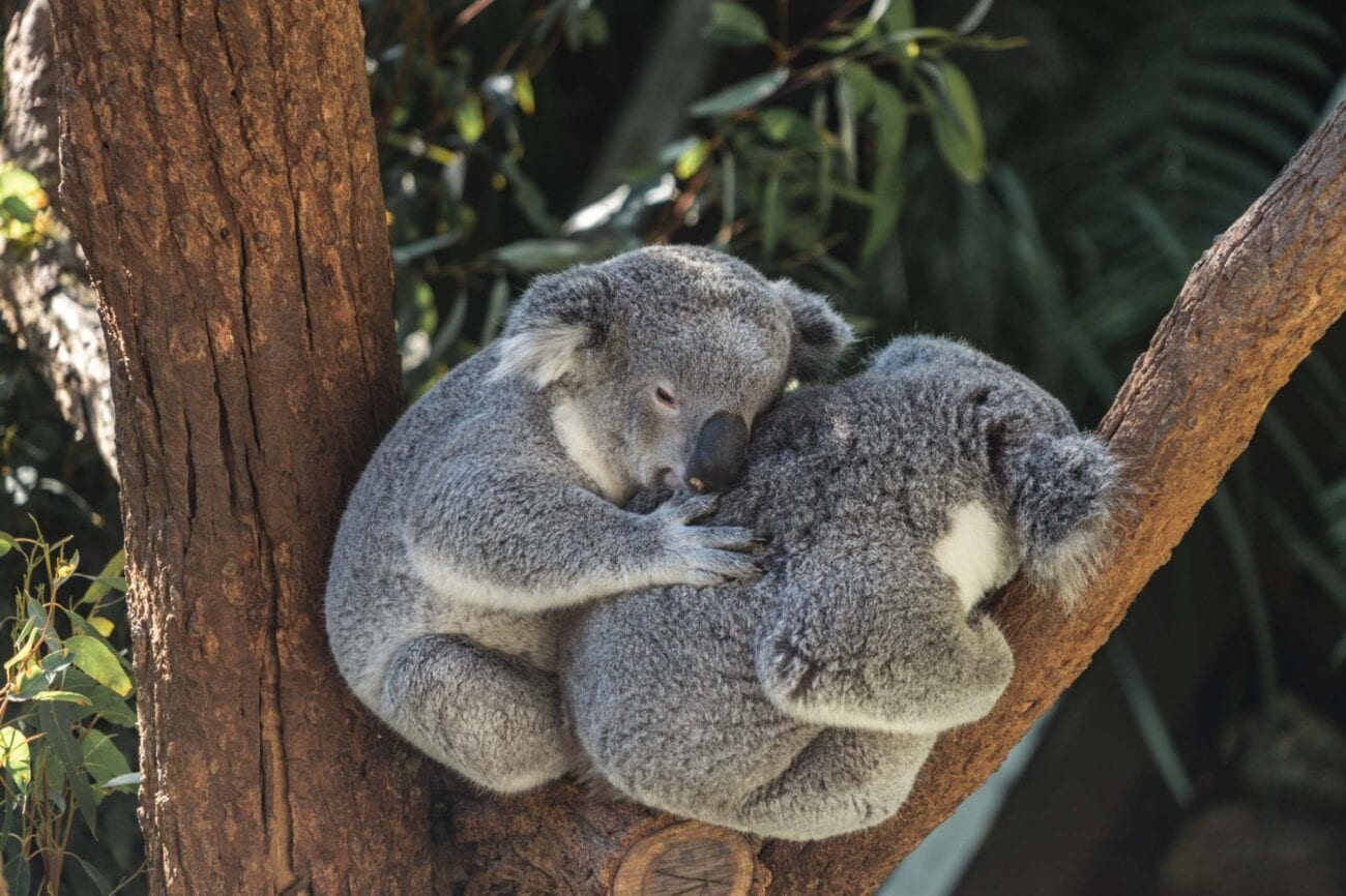 Are koalas going extinct? Discover the study of how cattle in Australia affect koalas and how one experiment could save their numbers.