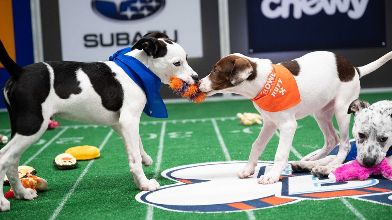 The cuteness overload! That is probably what you think about the Puppy Bowl 2021. Find out how you can watch the live stream.